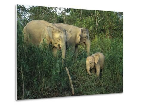 A Juvenile Asian Elephant with Two Adults in Tall Grasses-Tim Laman-Metal Print