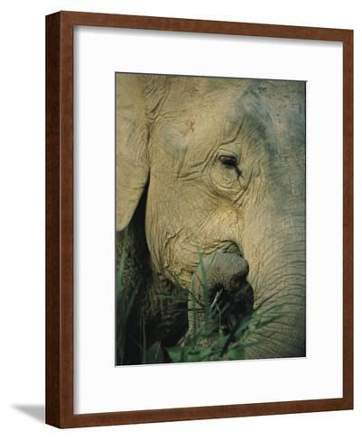 An Asian Elephant Brings a Trunkful of Grass to its Mouth-Tim Laman-Framed Art Print