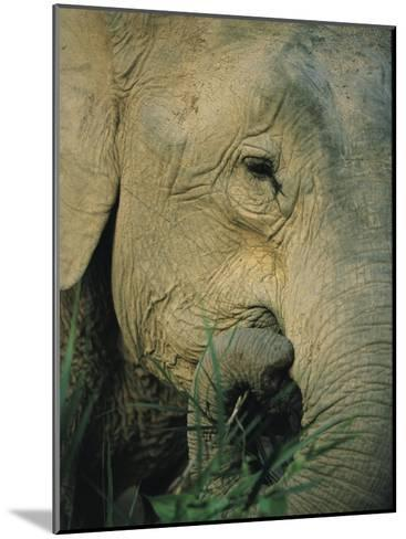 An Asian Elephant Brings a Trunkful of Grass to its Mouth-Tim Laman-Mounted Photographic Print