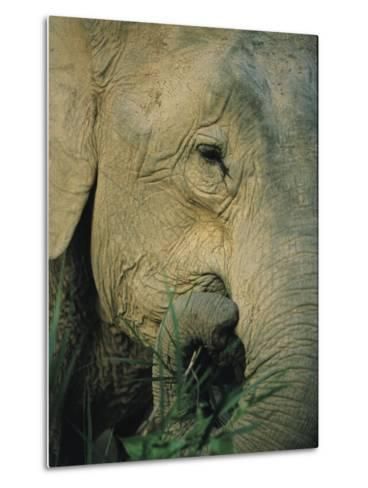 An Asian Elephant Brings a Trunkful of Grass to its Mouth-Tim Laman-Metal Print