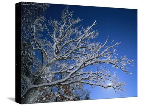 Fresh Snowfall Blankets Tree Branches Viewed against the Blue Sky-Tim Laman-Stretched Canvas Print