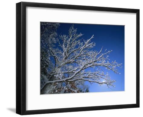 Fresh Snowfall Blankets Tree Branches Viewed against the Blue Sky-Tim Laman-Framed Art Print