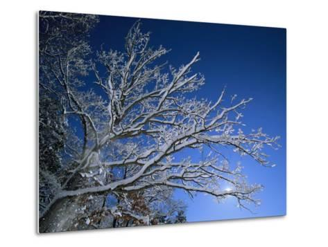 Fresh Snowfall Blankets Tree Branches Viewed against the Blue Sky-Tim Laman-Metal Print