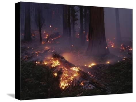 View of a Controlled Fire in a Stand of Giant Sequoia Trees-Raymond Gehman-Stretched Canvas Print