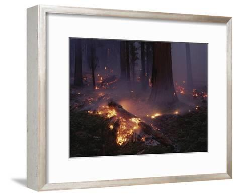 View of a Controlled Fire in a Stand of Giant Sequoia Trees-Raymond Gehman-Framed Art Print
