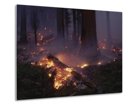View of a Controlled Fire in a Stand of Giant Sequoia Trees-Raymond Gehman-Metal Print