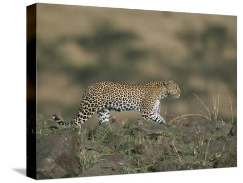 A Leopard Walks Along a Rocky Ledge in Masai Mara National Reserve-Roy Toft-Stretched Canvas Print