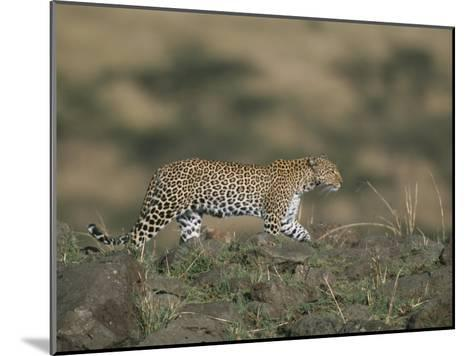 A Leopard Walks Along a Rocky Ledge in Masai Mara National Reserve-Roy Toft-Mounted Photographic Print