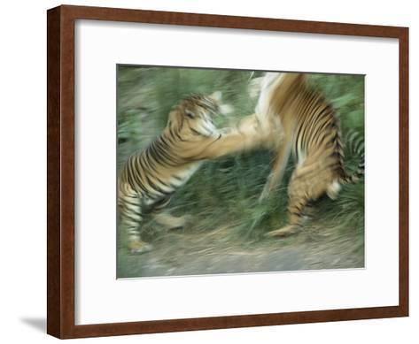 Two Fighting Sumatran Tigers in Blurred Motion-Jason Edwards-Framed Art Print