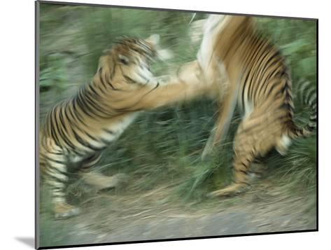 Two Fighting Sumatran Tigers in Blurred Motion-Jason Edwards-Mounted Photographic Print