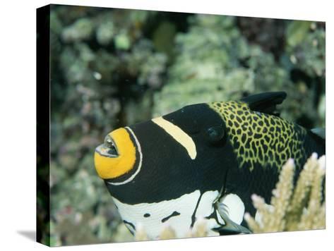 Clown Triggerfish, Balistoides Conspicillum, Near Fingers of Coral-Tim Laman-Stretched Canvas Print