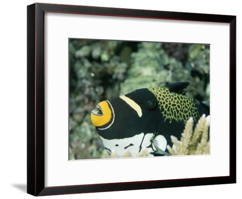 Clown Triggerfish, Balistoides Conspicillum, Near Fingers of Coral-Tim Laman-Framed Art Print