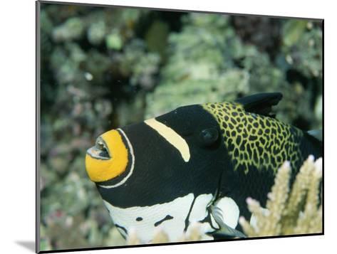 Clown Triggerfish, Balistoides Conspicillum, Near Fingers of Coral-Tim Laman-Mounted Photographic Print