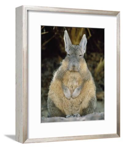 A Herbivorous Viscacha Puffs up against the Sharp Desert Cold-Joel Sartore-Framed Art Print