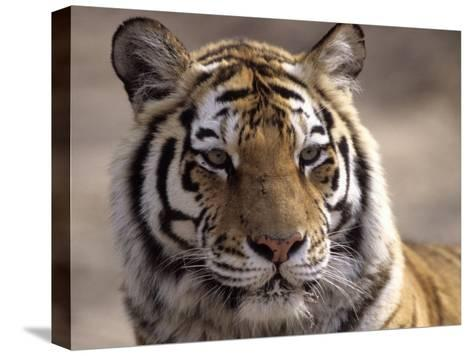 Tiger, Qinhuangdao Zoo, Hebei Province, China-Raymond Gehman-Stretched Canvas Print