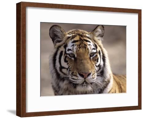 Tiger, Qinhuangdao Zoo, Hebei Province, China-Raymond Gehman-Framed Art Print