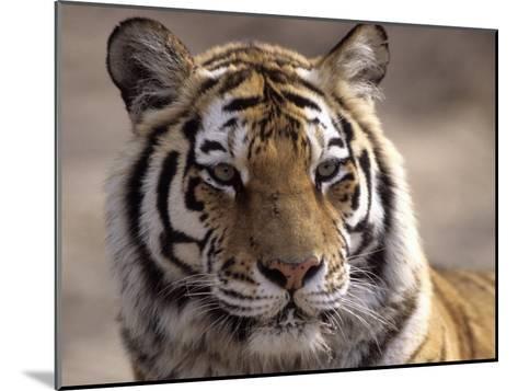 Tiger, Qinhuangdao Zoo, Hebei Province, China-Raymond Gehman-Mounted Photographic Print