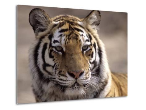 Tiger, Qinhuangdao Zoo, Hebei Province, China-Raymond Gehman-Metal Print