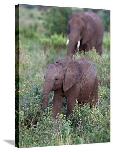 African Elephants, Luxodonta Africana, Tanzania-D^ Robert Franz-Stretched Canvas Print