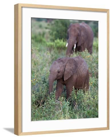 African Elephants, Luxodonta Africana, Tanzania-D^ Robert Franz-Framed Art Print