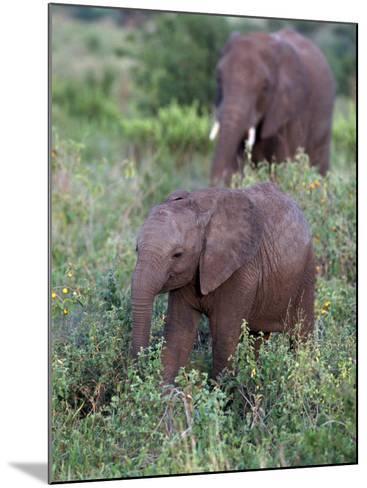 African Elephants, Luxodonta Africana, Tanzania-D^ Robert Franz-Mounted Photographic Print