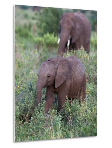 African Elephants, Luxodonta Africana, Tanzania-D^ Robert Franz-Metal Print