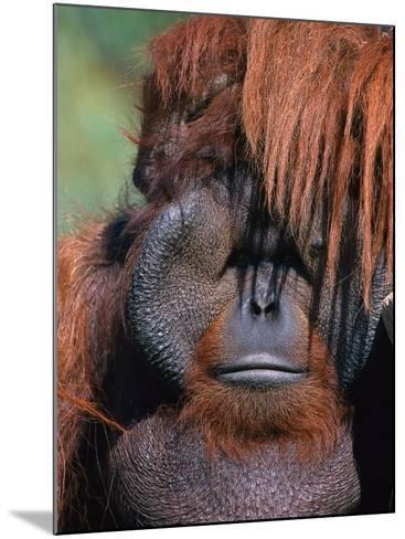 Orangutan, Borneo-Stuart Westmorland-Mounted Photographic Print