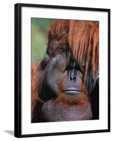 Orangutan, Borneo-Stuart Westmorland-Framed Art Print