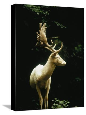 A White Fallow Stag in a Forest-James P^ Blair-Stretched Canvas Print