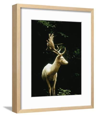 A White Fallow Stag in a Forest-James P^ Blair-Framed Art Print