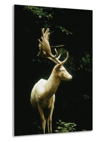 A White Fallow Stag in a Forest-James P^ Blair-Metal Print