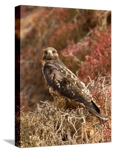A Portrait of a Galapagos Hawk on Bartolome Island-Ralph Lee Hopkins-Stretched Canvas Print