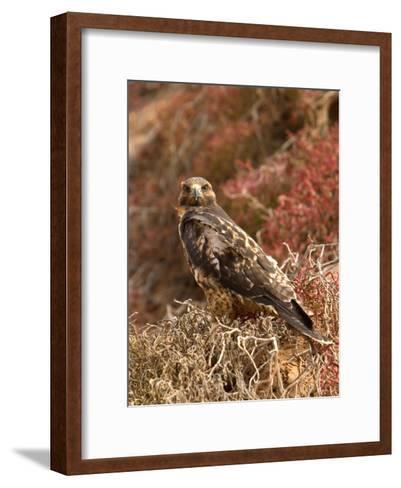 A Portrait of a Galapagos Hawk on Bartolome Island-Ralph Lee Hopkins-Framed Art Print