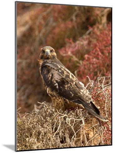 A Portrait of a Galapagos Hawk on Bartolome Island-Ralph Lee Hopkins-Mounted Photographic Print