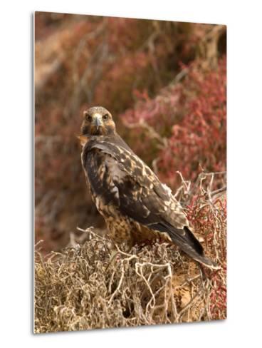 A Portrait of a Galapagos Hawk on Bartolome Island-Ralph Lee Hopkins-Metal Print