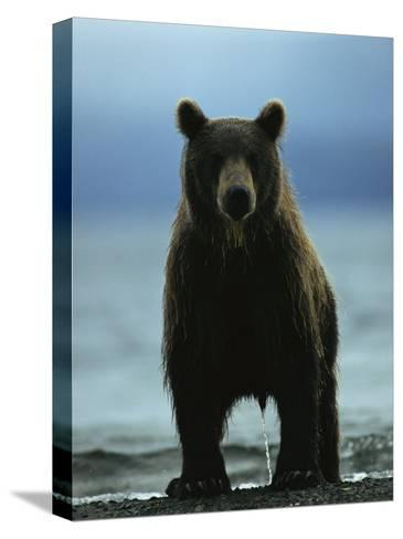 A Wet Brown Bear with Water Running off of its Fur-Klaus Nigge-Stretched Canvas Print
