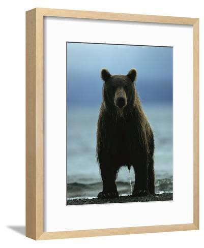 A Wet Brown Bear with Water Running off of its Fur-Klaus Nigge-Framed Art Print
