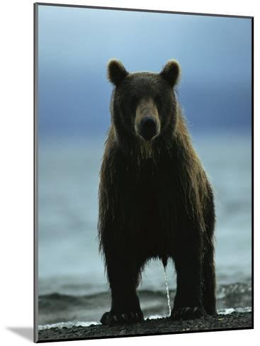 A Wet Brown Bear with Water Running off of its Fur-Klaus Nigge-Mounted Photographic Print