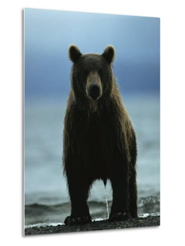 A Wet Brown Bear with Water Running off of its Fur-Klaus Nigge-Metal Print