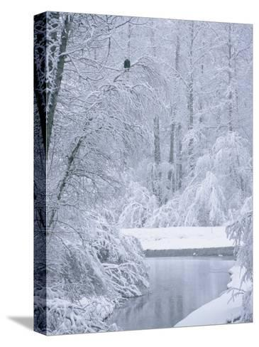 An American Bald Eagle Perched in a Snow-Covered Forest Near a Stream-Klaus Nigge-Stretched Canvas Print