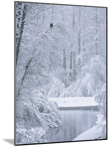 An American Bald Eagle Perched in a Snow-Covered Forest Near a Stream-Klaus Nigge-Mounted Photographic Print