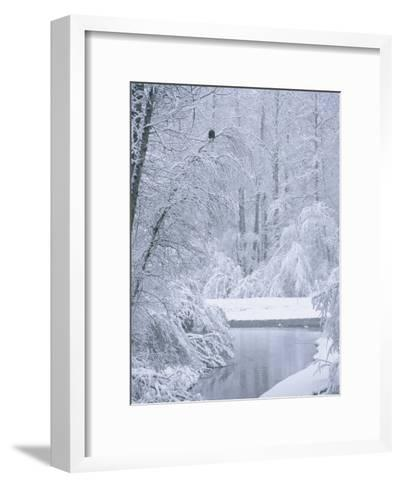 An American Bald Eagle Perched in a Snow-Covered Forest Near a Stream-Klaus Nigge-Framed Art Print