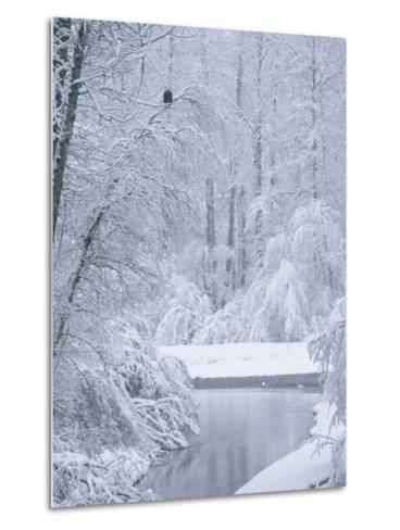 An American Bald Eagle Perched in a Snow-Covered Forest Near a Stream-Klaus Nigge-Metal Print
