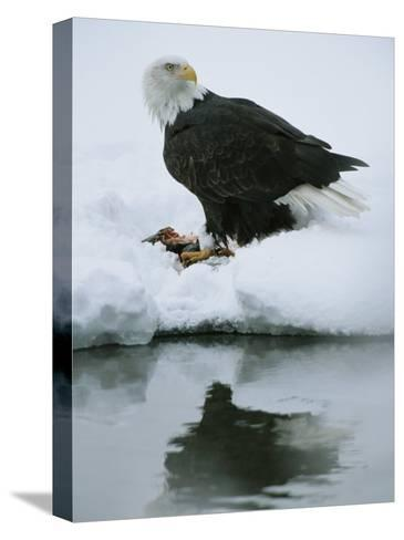 An American Bald Eagle Feeds on a Fish-Klaus Nigge-Stretched Canvas Print