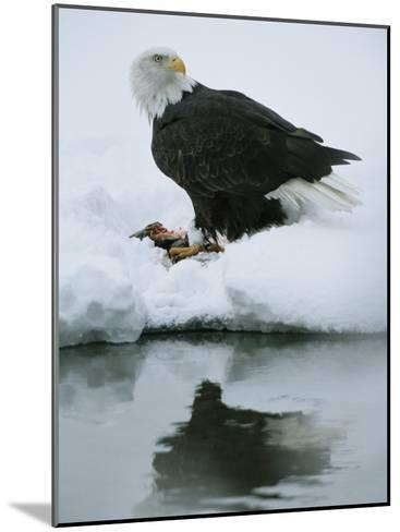 An American Bald Eagle Feeds on a Fish-Klaus Nigge-Mounted Photographic Print