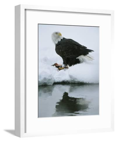 An American Bald Eagle Feeds on a Fish-Klaus Nigge-Framed Art Print