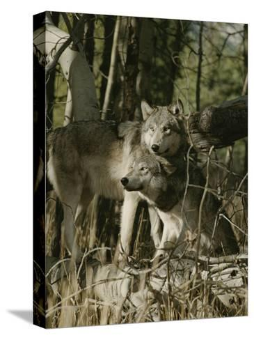Two Gray Wolves on the Forests Edge-Jim And Jamie Dutcher-Stretched Canvas Print