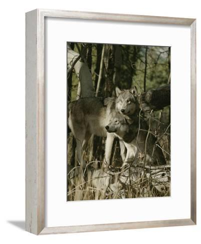 Two Gray Wolves on the Forests Edge-Jim And Jamie Dutcher-Framed Art Print