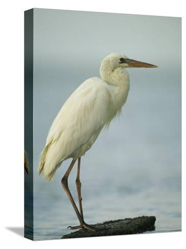 Great Blue Heron during its White Phase in the Everglades-Klaus Nigge-Stretched Canvas Print
