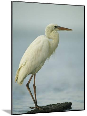 Great Blue Heron during its White Phase in the Everglades-Klaus Nigge-Mounted Photographic Print